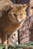 Сильный дикий большой камышовый трот болота кота, конец кота джунглей вверх осветил по солнцу стоковые фото