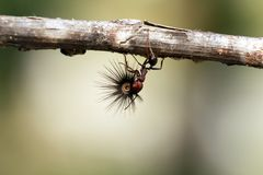 Сильный и трудолюбивый муравей носит семена стоковая фотография rf