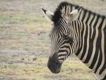 Симбиоз зебры Стоковые Фотографии RF