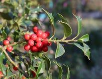 Символ рождества в Европе Крупный план ягод падуба красивых красных и острых листьев на дереве в погоде осени стоковое изображение