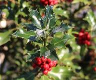 Символ рождества в Европе Крупный план ягод падуба красивых красных и острых листьев на дереве в погоде осени стоковые изображения