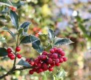 Символ рождества в Европе Крупный план ягод падуба красивых красных и острых листьев на дереве в погоде осени стоковое фото