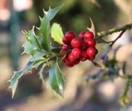 Символ рождества в Европе Крупный план ягод падуба красивых красных и острых листьев на дереве в погоде осени стоковые изображения rf