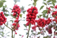 Символ рождества в Европе Крупный план ягод падуба красивых красных и острых листьев на дереве в погоде осени стоковая фотография