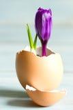 Символ пасхи сломленного яичка и фиолетового крокуса абстрактный новой жизни Стоковые Фотографии RF