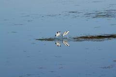 Симметричное отражение 2 птиц в озере Стоковые Изображения