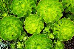 Симметричное Saxifrage Стоковые Фото
