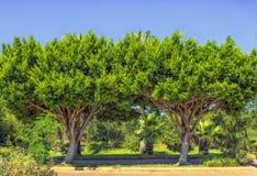 2 симметричных зеленых дерева в парке пляжа индюк antalya Стоковая Фотография RF