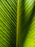 Симметрия в природе, текстурированных лист ладони стоковая фотография rf