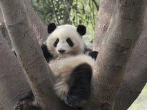Симпатичная гигантская панда на дереве Стоковая Фотография