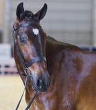 Симпатичная голова лошади Waler стоковые фотографии rf