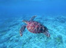 Симпатичная зеленая черепаха плавает и ныряет в морской воде Стоковые Изображения