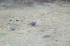 Симпатичная малая фиолетовая птица ища еда на каменном побережье Стоковые Фото