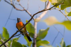 Симпатичная малая птица Minivet Стоковое Изображение RF