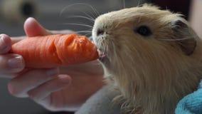 Симпатичная морская свинка жует морковь видеоматериал