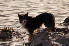 Симпатичная собака colle полоща в море Стоковая Фотография