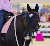 Симпатичная черная квартальная лошадь стоковые изображения
