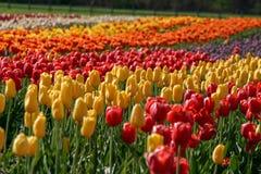 Симпатичное поле тюльпанов в Голландии, Мичигане во время фестиваля времени тюльпана Стоковые Фото