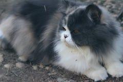 Симпатичное породы персидского кота, серых и белых Стоковые Изображения RF