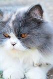 Симпатичное породы персидского кота, серых и белых Стоковое Изображение RF