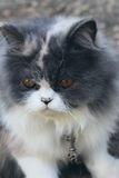 Симпатичное породы персидского кота, серых и белых Стоковое Изображение