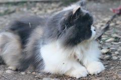 Симпатичное породы персидского кота, серых и белых Стоковое Фото