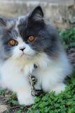 Симпатичное породы персидского кота, серых и белых Стоковые Фотографии RF