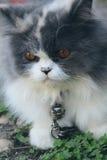 Симпатичное породы персидского кота, серых и белых Стоковое фото RF