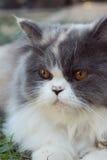 Симпатичное породы персидского кота, серых и белых Стоковая Фотография RF