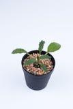 Симпатичное Dorstenia Foetida Стоковое Изображение RF