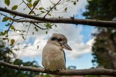 Симпатичное kookaburra Стоковые Фото