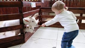 Симпатичные козы белизны ребенк пар 2 маленьких белых козы стоя в деревянном укрытии и смотря камеру Местная ферма видеоматериал