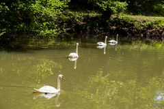Симпатичные лебеди живут в пруде Стоковое фото RF