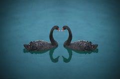 симпатичные лебеди стоковая фотография
