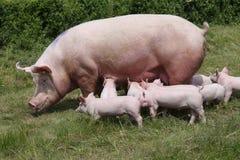 Симпатичные маленькие свиньи suckling на органической ферме Стоковые Фото