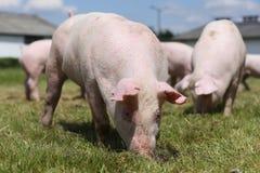 Симпатичные маленькие свиньи пася на органической ферме Стоковые Фотографии RF