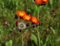 Симпатичные оранжевые цветки aurantiacum Hieracium aurantiaca Pilosella также известного как оранжевый Hawkweed и Fox и Cubs pere стоковая фотография rf