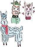 Симпатичные пушистые ламы или альпаки Стоковые Фото