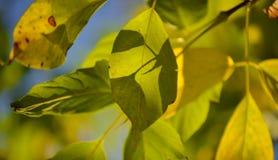 Симпатичные свет и тень на желтых и зеленых листьях на ветви День осени солнечный светлая тень Теплая осень Стоковые Фото