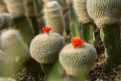 Симпатичные цветеня кактуса Стоковое фото RF