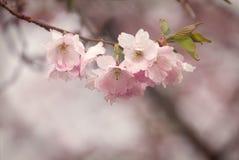 Симпатичные цветки на вишневом дереве в в начале мая Стоковое Изображение RF