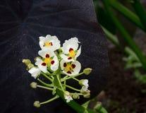 Симпатичный белый наконечник цветет с красной точкой на каждых лепестке и желтой тычинке стоковая фотография rf