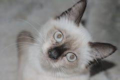 Симпатичный белый кот смутил настолько милое на к югу от Таиланде Стоковое Фото