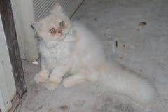 Симпатичный белый персидский кот смутил настолько милое на к югу от Таиланде Стоковое Фото