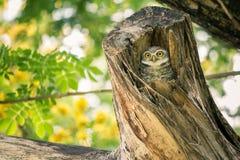 Симпатичный запятнанный owlet ослабляет на ем полость дерева Стоковое фото RF