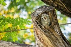 Симпатичный запятнанный owlet ослабляет на ем полость дерева Стоковое Фото