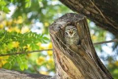 Симпатичный запятнанный owlet ослабляет на ем полость дерева Стоковые Изображения