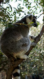 Симпатичный кругл-замкнутый лемур сидит на дереве стоковое изображение rf