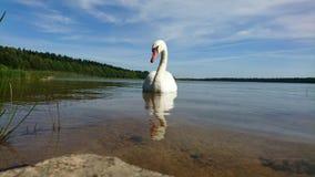 симпатичный лебедь Стоковые Фото