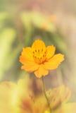 Симпатичный одиночный желтый космос цветка на мягкой предпосылке цвета Стоковая Фотография